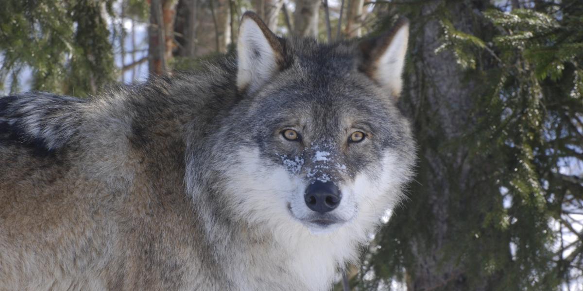 Frykt Ikke Ulven Men Bruk Sunn Fornuft