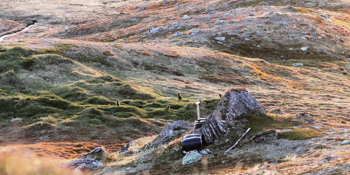 Fjellrevvalper på et hi i Saltfjellet, 2015. Foto © Kristian Sivertsen, Statskog Fjelltjenesten