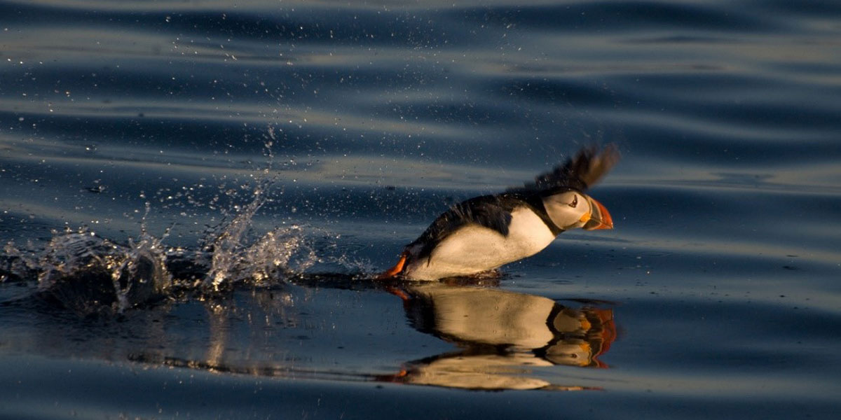 Having small wings relative to body weight, puffins have to