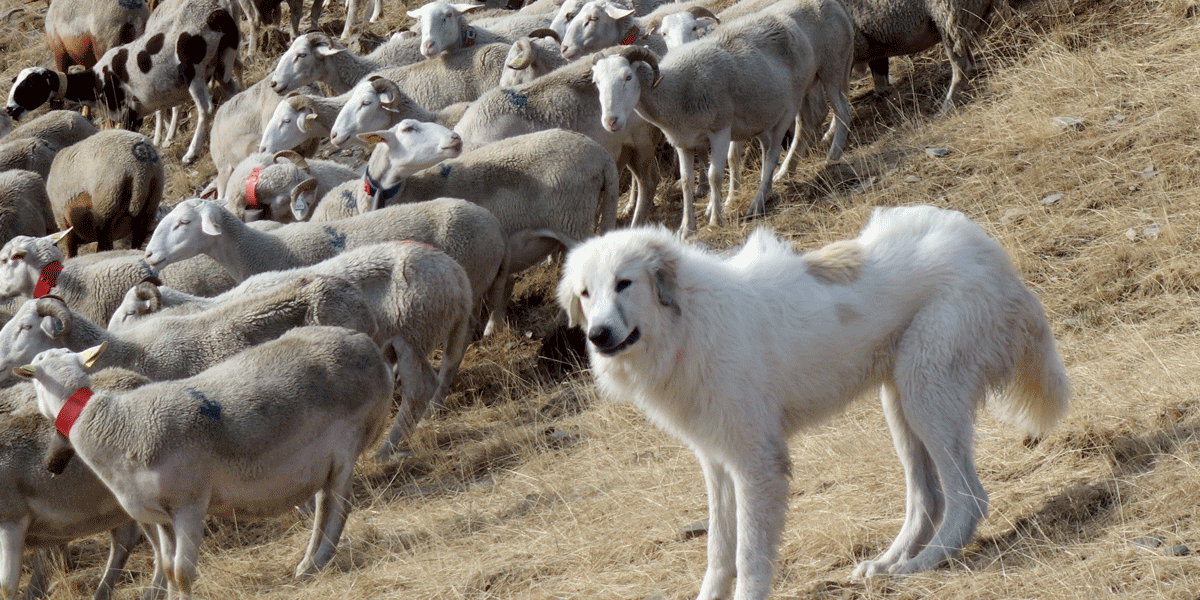 """Livestock guarding dogs and sheep flock in France. Traditional shepherding systems are an example of one of the ways in which humans have adapted to large carnivore presence. Photo: John Linnell"