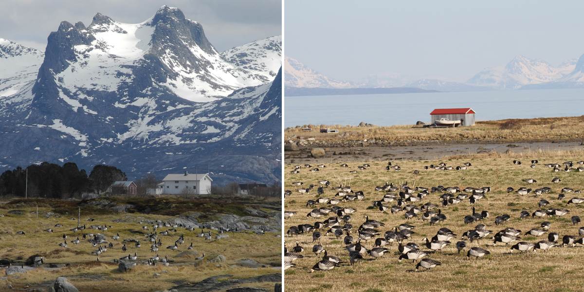 Coastal flats in Norway are home to barnacle geese when preparing for the migration to Svalbard. Helgeland (left photograph) has been the traditional staging area. During the past 25 years a rapidly increasing proportion of barnacle geese switched to Vesterålen (right photograph). Photographs are by Paul Shimmings (left) and Ingunn M. Tombre (right).