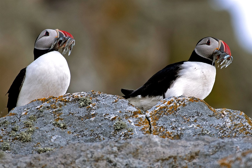 Seabirds consume higher proportions of fish stocks when prey abundance is low