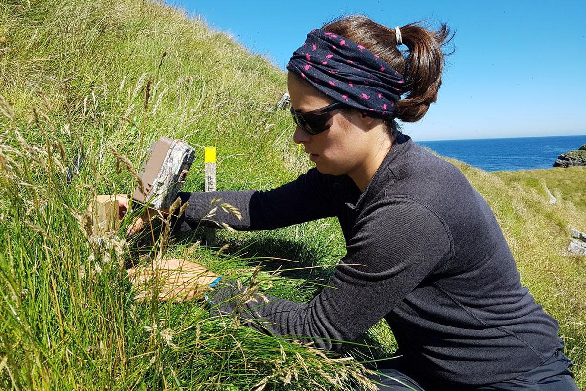 Annette Fayet fra universitetet i Oxford klargjør et kamera med bevegelsessensor ved inngangen til reirhulen for en av GPS-lundene på Røst for å dokumentere mengde, hyppighet og kvalitet på maten den bringer til ungen. Foto: Tycho Anker-Nilssen/NINA