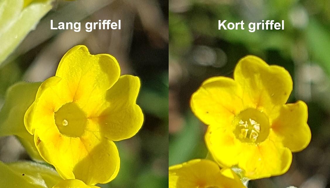 Griffelen i en blomst av marianøkleblom kan være lang (t.v.) eller kort (t.h.). Forskjellen er som regel ganske tydelig å se. Foto: Tsipe Aavik (sjekk også på prosjektsiden www.cowslip.science).