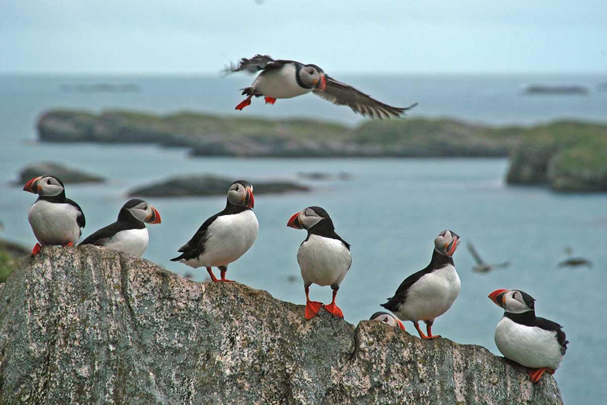 En ny, global studie publisert i Science viser økende hekkesvikt blant sjøfugl over hele den nordlige halvkule. Lunde er en av artene som påvirkes. Foto: Tycho Anker-Nilssen/NINA.
