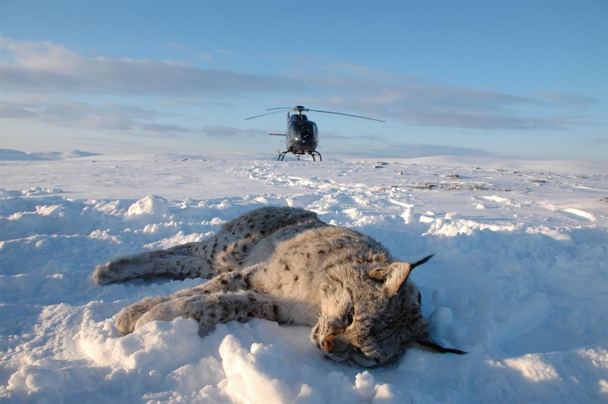 Gaupene ble bedøvet fra helikopter og påmontert GPS-sendere som faller av etter et par år. Her er hanngaupa M246 i Porsanger i februar 2009. Foto: Thomas H. Strømseth