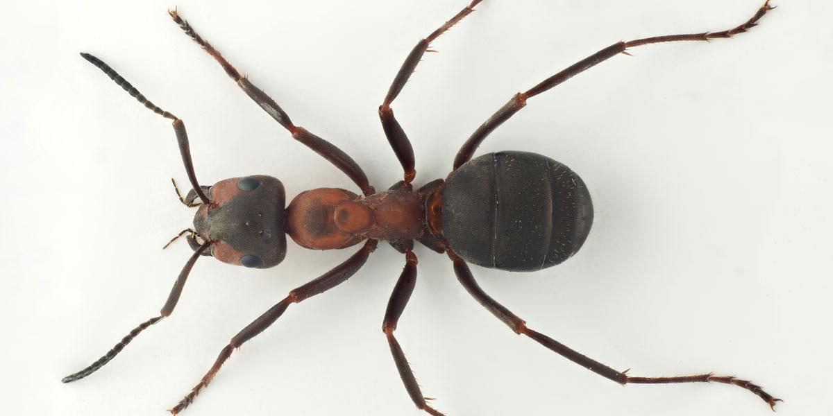 Faktasetninger om maur